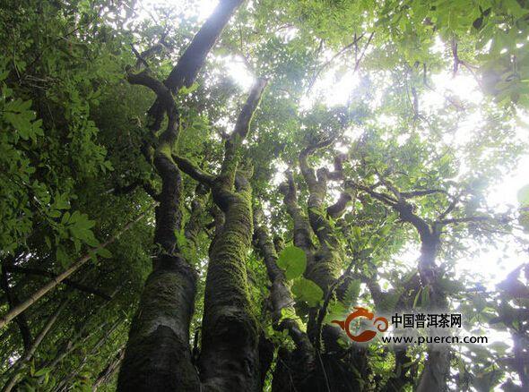 龙新乡认真开展野生古树茶资源普查