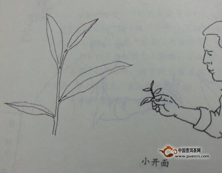 """铁观音为何要""""开面采"""" - 茶叶制作过程_为您介绍茶叶"""