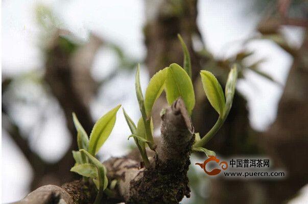 大班章:坝卡囡的古茶树特点及其分布