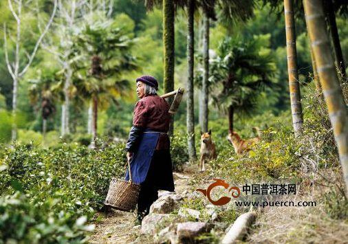普洱茶微语第十一周:普洱茶浪潮、那茶山之中世代劳作的茶农