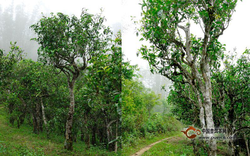 乔木型茶树:有明显的主干