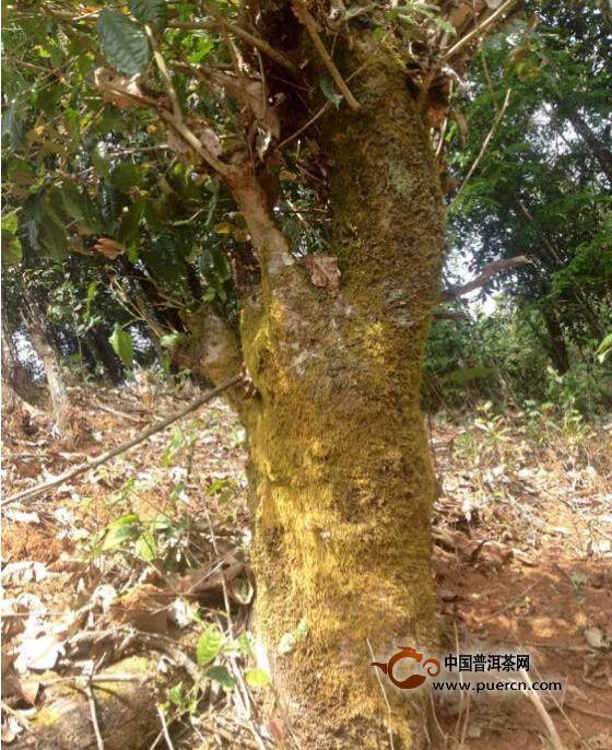 【图阅】野生茶树