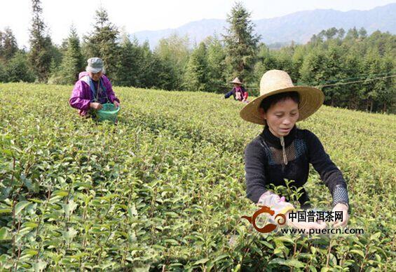 乐安春茶采摘忙 茶叶专业合作社助农增收致富