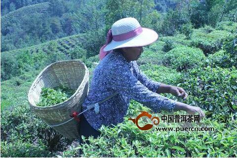 镇沅县田坝乡部分春茶已经上市