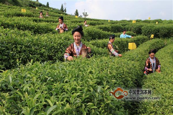 春茶的种植技术