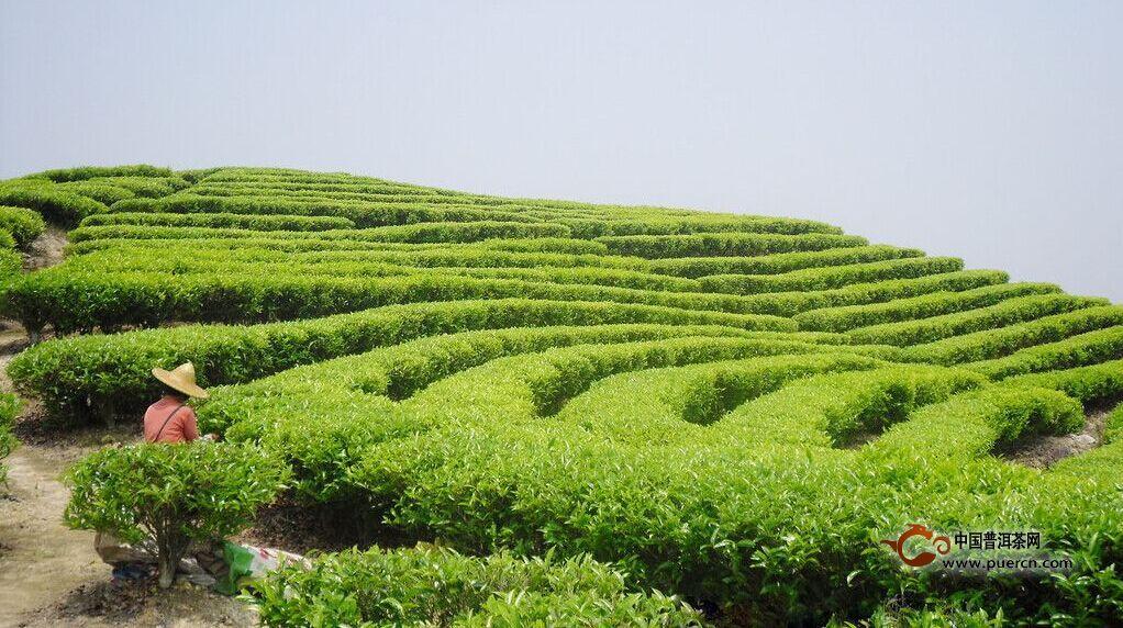 茶叶种植的步骤