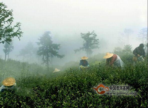 富阳安顶云雾茶品牌打造成效显著 今年质优量多