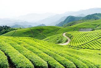 往往高山出好茶