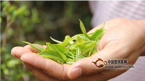 探讨:茶树鲜叶的头春与二春
