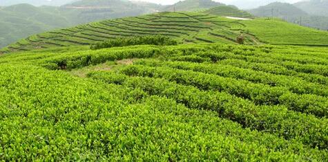 福建福鼎白茶的嬗变之路