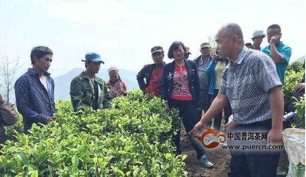 云南沧源:开展生态茶园培训让茶业增产增质