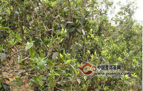 古茶树连棵成片死亡  古茶树该如何保护