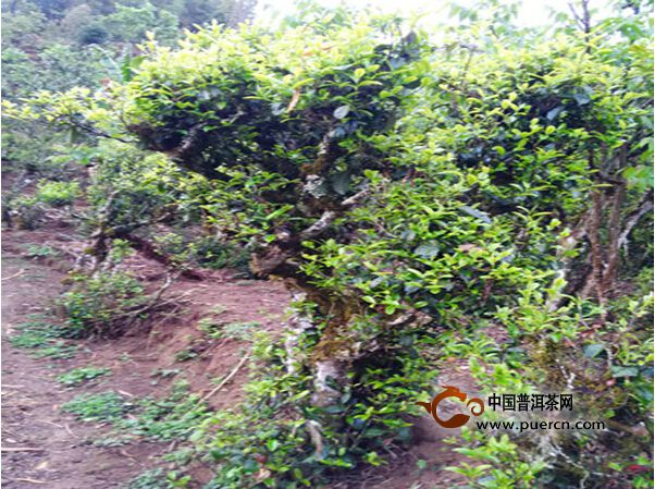 古茶树成为云县漫湾大河边村民的摇钱树