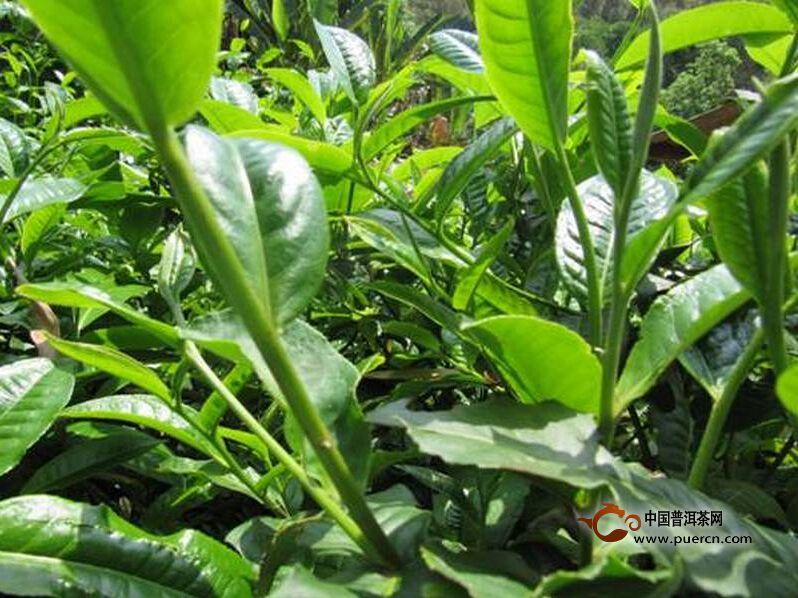 """南伞镇:李红栽种的茶叶变成了增收的""""金种子"""""""