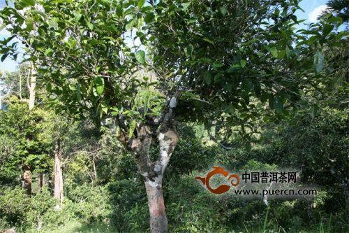 茶树的起源是什么