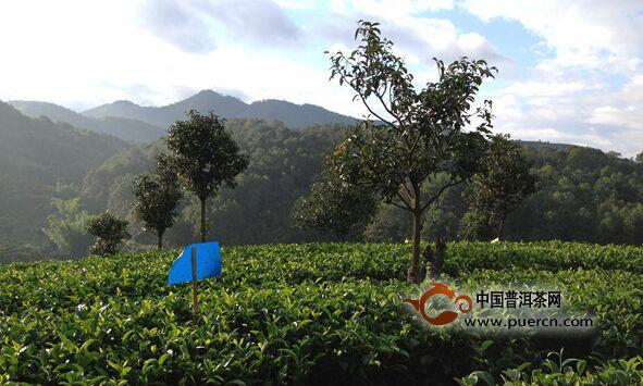 普洱是世界茶源,中国茶城,普洱茶都,普洱始终坚持走'生态建设产业化,产业发展生态化'的道路。4月14日,在魅力彩云南?特色云系列之人文云茶篇新闻发布会上,普洱市副市长杨卫东介绍,2014年底,普洱全市生态茶园总面积157.4万亩,毛茶产量9.6万吨,同比增7.6%,实现总产值107.