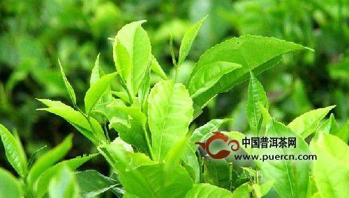精品绿茶概述