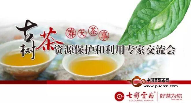 古茶树的保护与应用是个矛盾,破局何其难!