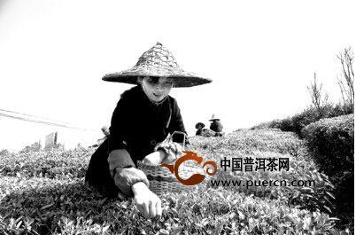 茶农在采摘屯溪绿茶