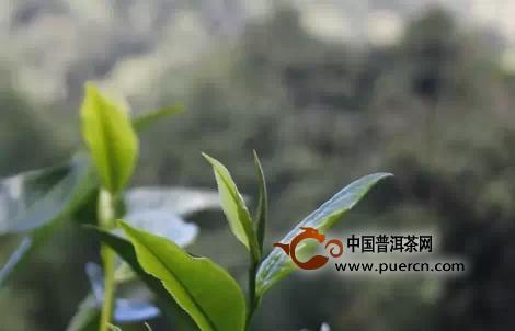 云南普洱茶最纯正最好的山寨