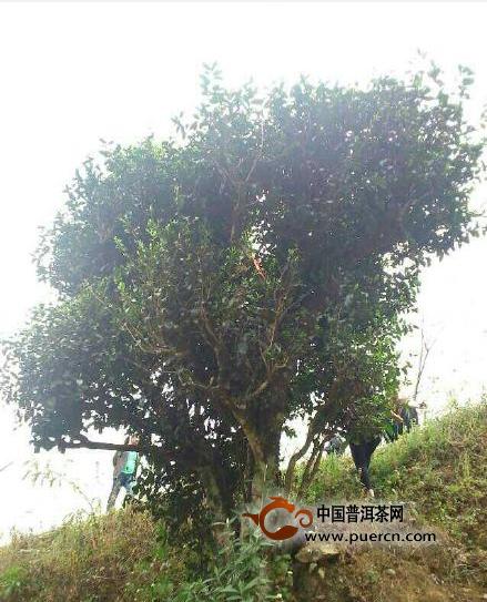 【图阅】百年天香乔木(珍品)普洱茶树