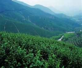 美学意义上的普洱茶:万山青翠的澄澈光影