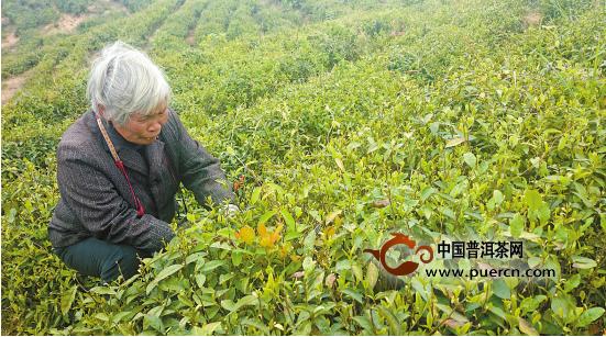原生态孕育的高山有机茶一个月卖出数百万元