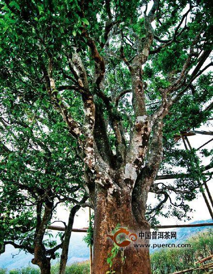 【普洱茶知多少】雨林之下,2015古树茶将何去何从?