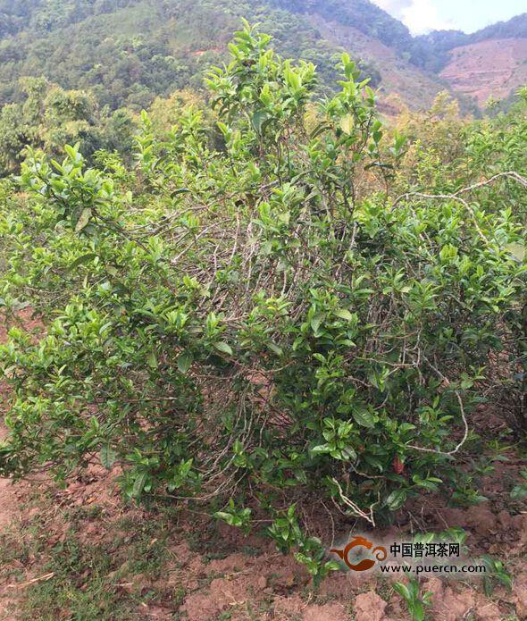 图为:生机勃勃的藤条茶树