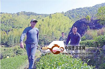 建丰茶叶专业合作社使用新机械采摘高山岩茶