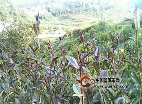 茶树新品种紫娟茶在广南区试长势良好