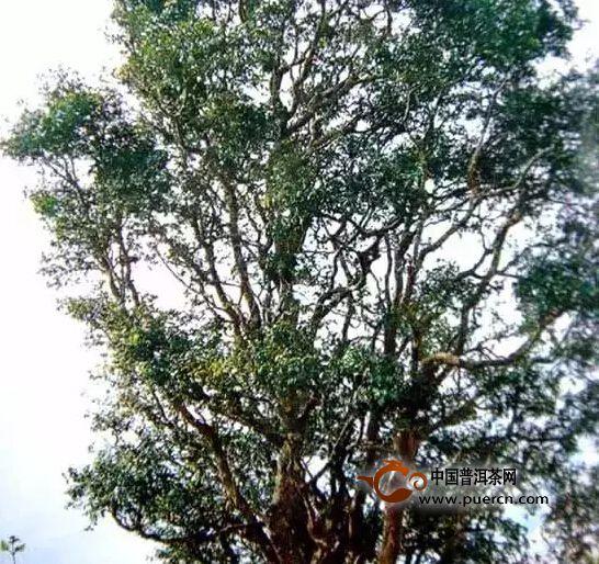 野生型茶树种质资源之一邦崴大茶树