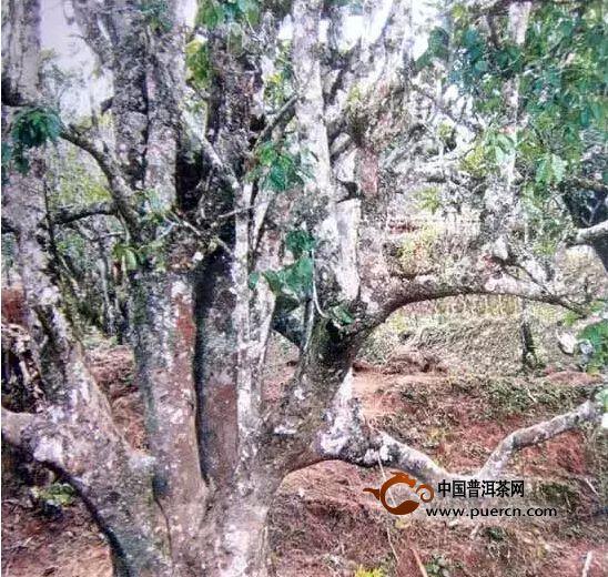 野生型茶树种质资源之一河头大茶树