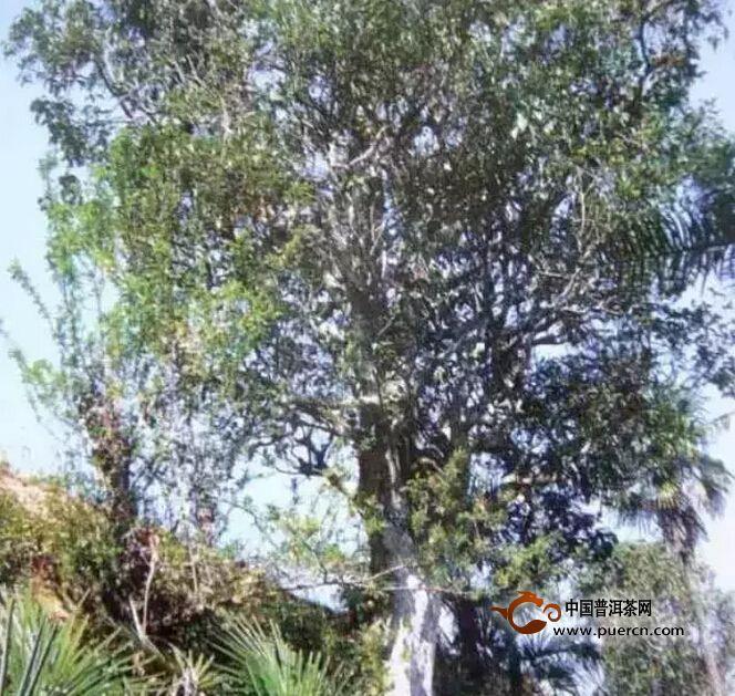 野生型茶树种质资源之一谢家李丕申茶