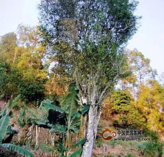 野生型茶树种质资源之一灵官庙大树茶