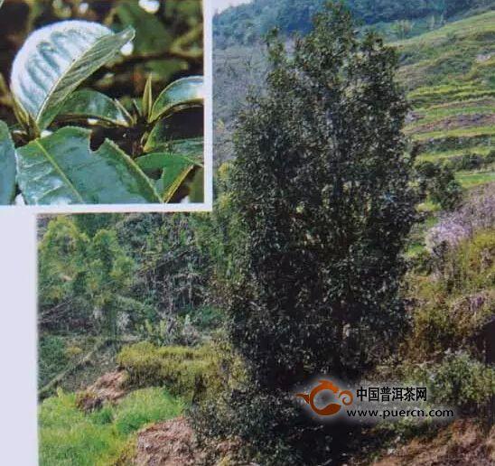 野生型茶树种质资源之一芦山白茶