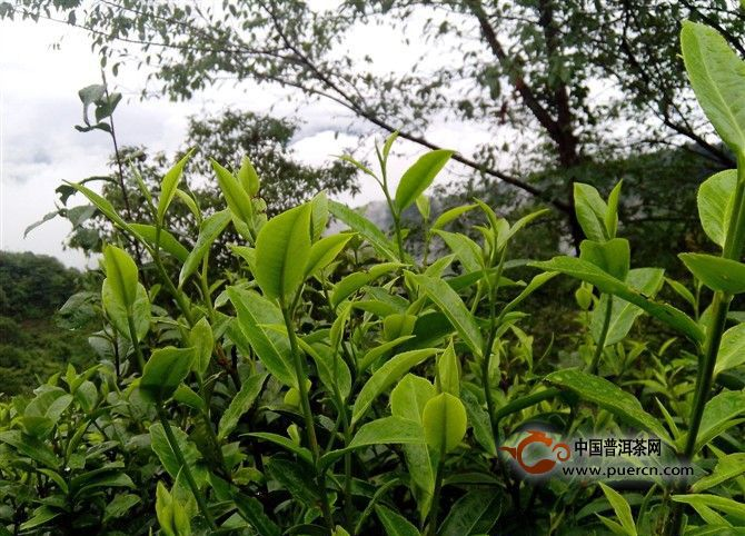 不同的茶树根系深度和土壤环境不同