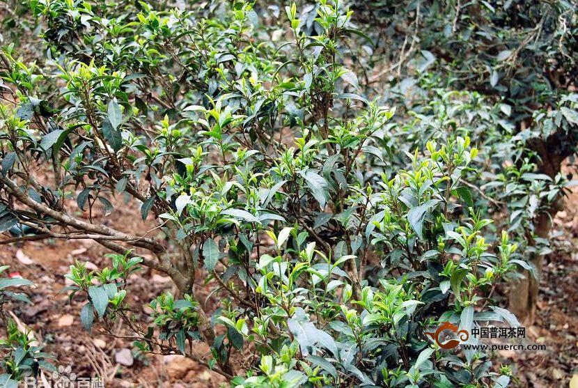 勐腊秧林自然村普洱茶(茶叶)特点