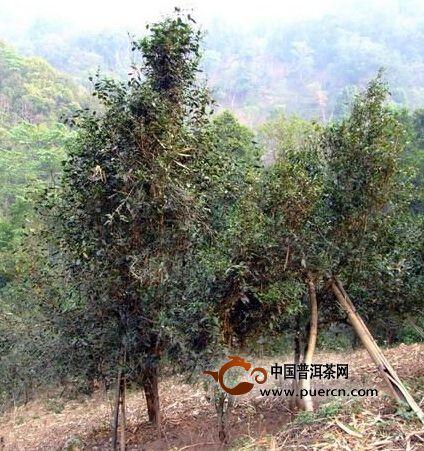 倚邦河边队自然村普洱茶(茶叶)特点