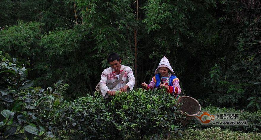 毛娥老寨村普洱茶(茶叶)特点