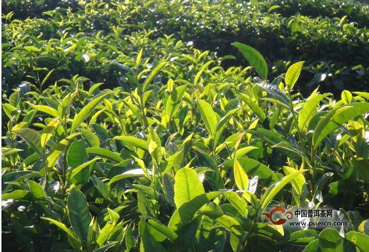 吉良自然村普洱茶茶质特色