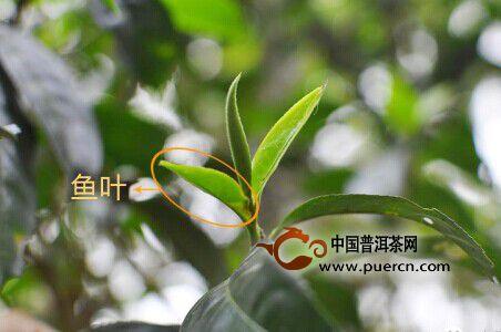 普洱茶鲜叶名词介绍