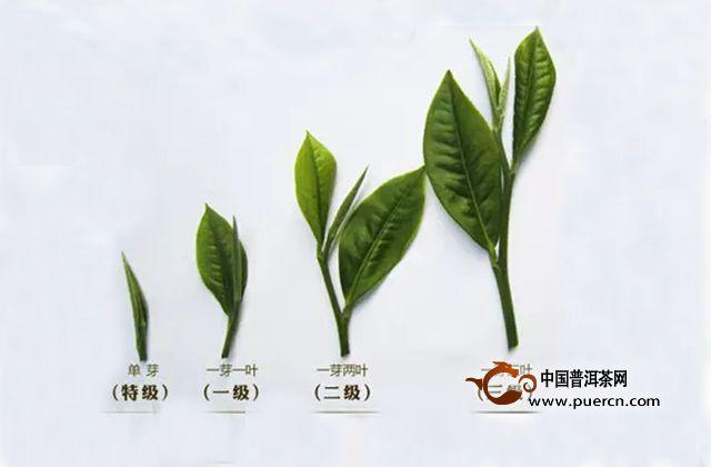 普洱茶鲜叶采摘分级