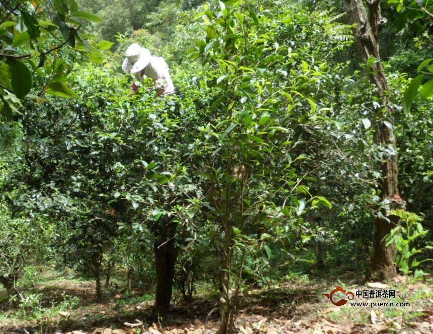 普洱茶鲜叶采摘方法