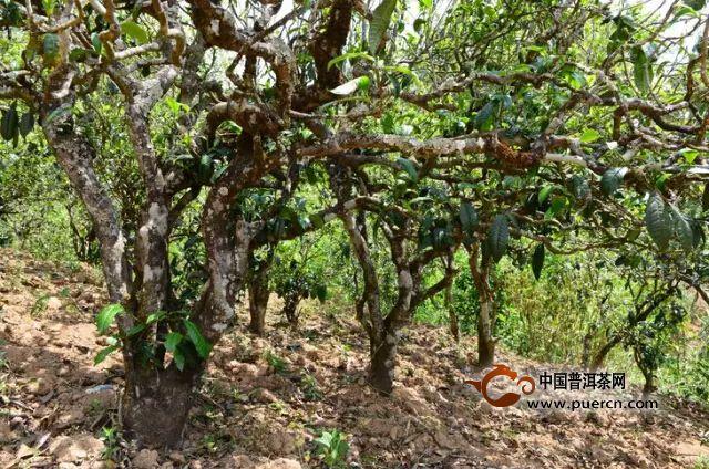 勐库东半山:那蕉茶区(三家村、橄榄山、大石房)