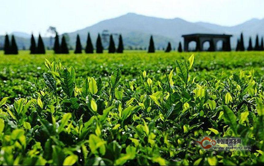 全国无性系良种茶园面积比例达56.5%  有机茶园6.2%