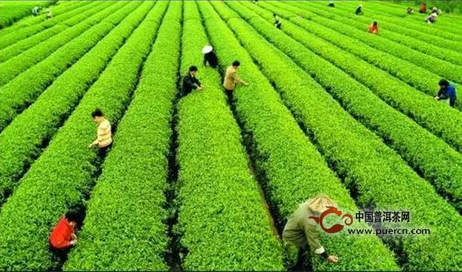 久盈:春茶上市在即  茶企需要读懂10句话