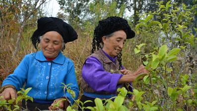 【暴走茶话】看两位大妈怎样娴熟采春茶?