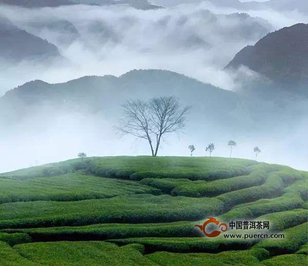茶叶生长过程步骤图片