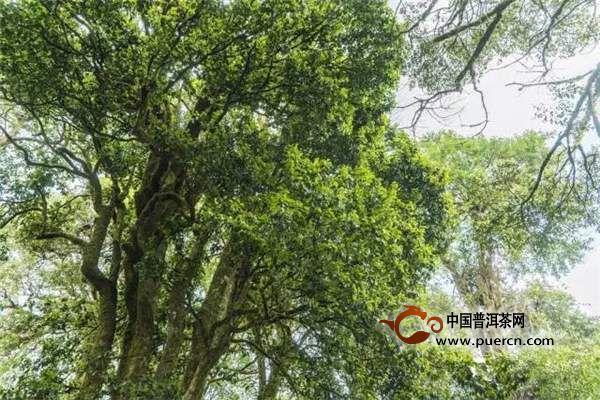 1997年,一场大旱给这些竹林带来了毁灭性的影响,由于严重缺水,竹林逐渐干枯死亡,大雪山原本密集的植被也慢慢出现了空隙,周边的村民开始更为自由地在山上活动,就在这个时候,人们发现了除了单株的古茶树以外,还存在着其他大量的古茶树,分布面积达到了1.2万亩,这个重大的发现很快传遍全球。勐库大雪山野生古茶树群落被专家一致认为是迄今世界上已发现的海拔最高、分布面积最广、种群密度最大的世界第一野生古茶树群落。